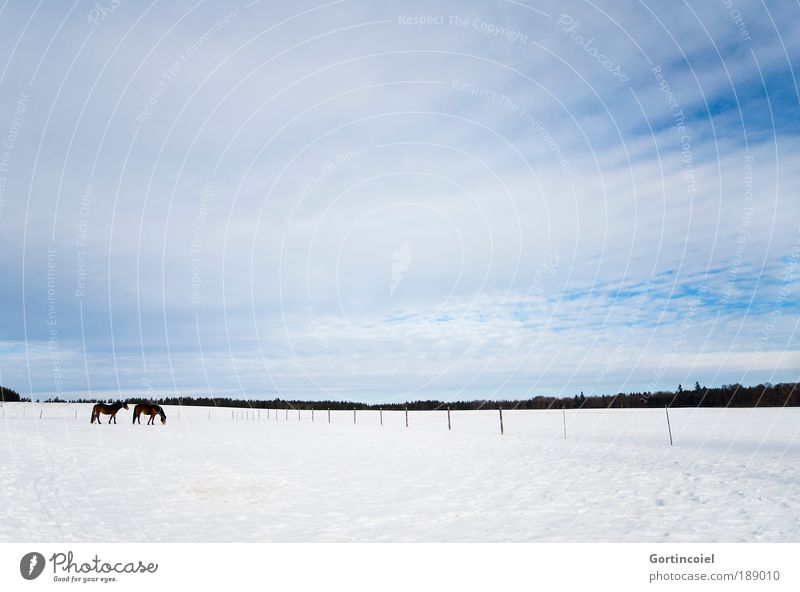 winter pasture Winter Snow Environment Landscape Sky Clouds Animal Pet Farm animal Horse Pelt Winter pelt 2 Cold Blue White Pasture Pasture fence Fence