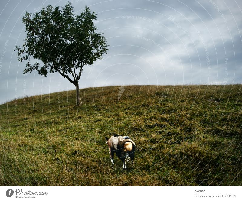 wild ram Environment Nature Landscape Plant Animal Clouds Horizon Climate Beautiful weather Tree Meadow Billy goat 1 To feed Stand Enclosure Pasture Aries