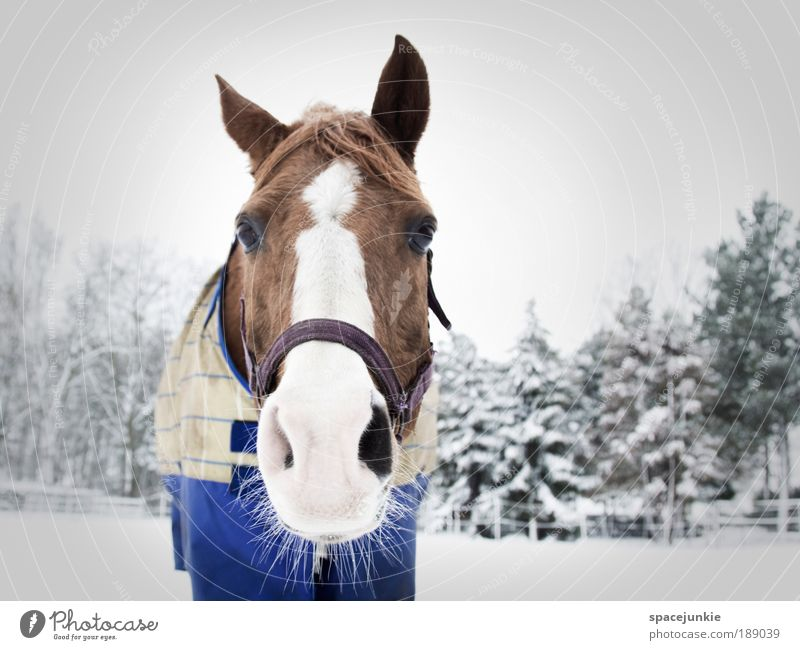 A horse in the snow Equestrian sports Nature Landscape Winter Ice Frost Snow Tree Animal Horse Animal face 1 Brown White Sympathy Love of animals Curiosity