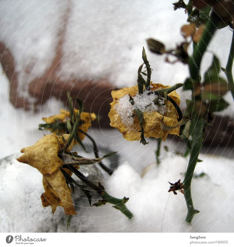 snowflake Nature Plant Winter Ice Frost Snow Flower Rose Leaf Blossom Foliage plant Agricultural crop Stone Blossoming Freeze Faded Yellow White Anticipation