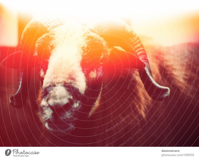 Red Animal Yellow Analog Sheep Antlers Devil Farm animal Animal portrait Buck Patch of light Light leak