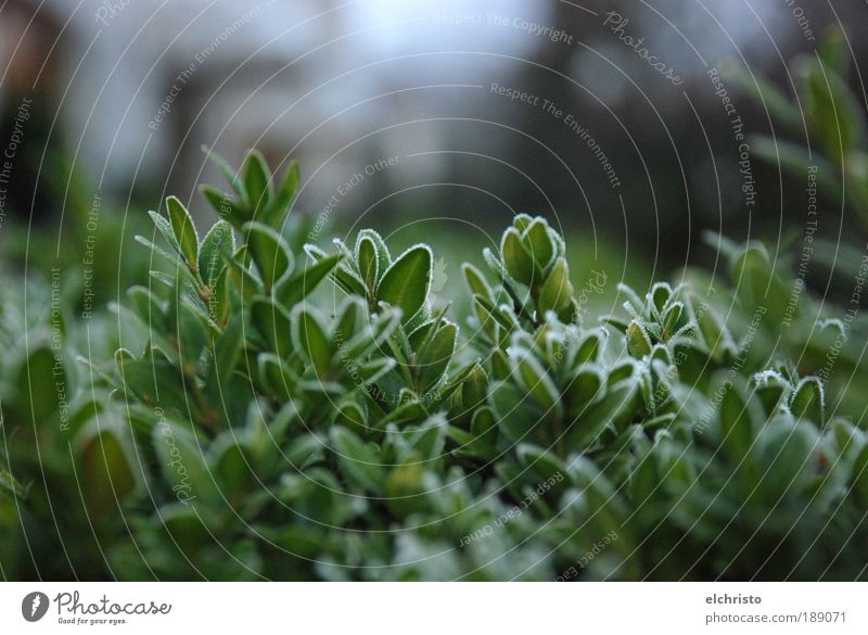 Green Plant Winter Leaf Cold Growth Frost Bushes Frozen Wood Focus on Beech