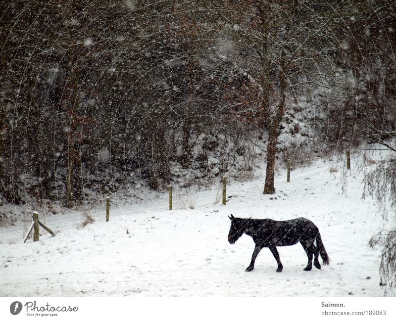 alone in the cold Nature Winter Bad weather Ice Frost Snow Snowfall Field Forest Horse 1 Animal Going Cold Wet Love of animals Reluctance Loneliness Movement