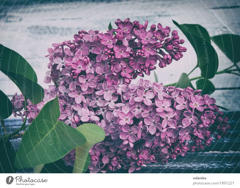 branch of purple lilac with green leaves Beautiful Summer Garden Decoration Valentine's Day Mother's Day Wedding Birthday Gardening Nature Plant Tree Flower