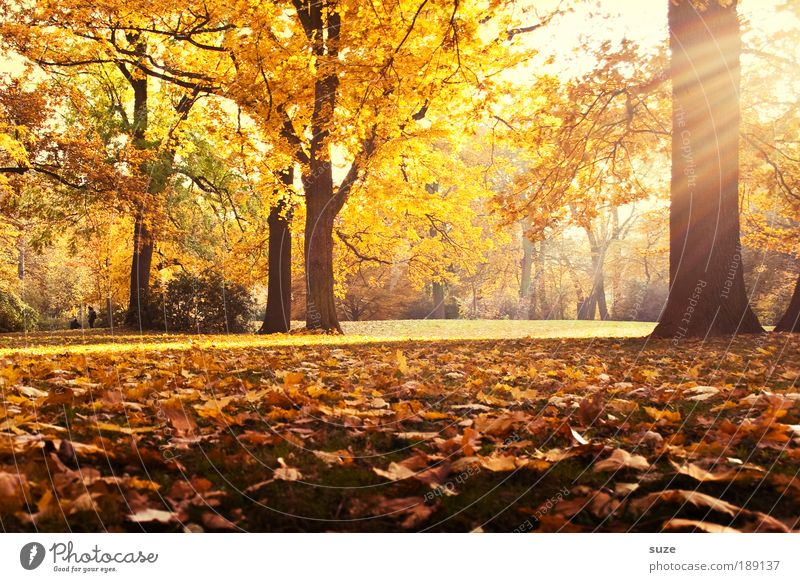 remembrance Environment Nature Landscape Autumn Tree Leaf Park Meadow Esthetic Fantastic Beautiful Yellow Gold Emotions Time Autumn leaves Autumnal Seasons