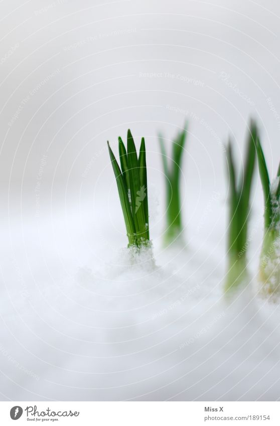 Nature Flower Plant Cold Snow Meadow Macro (Extreme close-up) Blossom Grass Spring Garden Park Ice Weather Fresh Growth