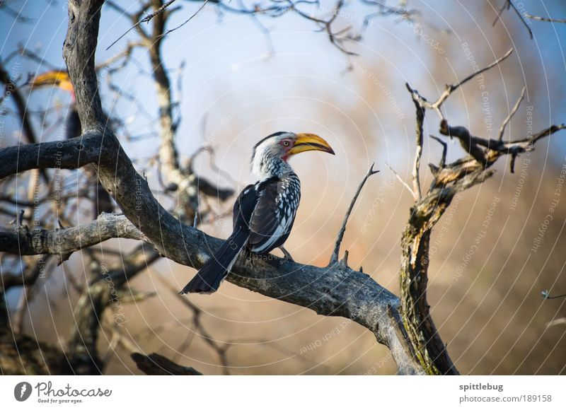 Yellowbilled Hornbill Adventure Far-off places Freedom Sightseeing Safari Summer Nature Landscape Animal Beautiful weather Plant Tree Wild animal Bird Wing 1 2