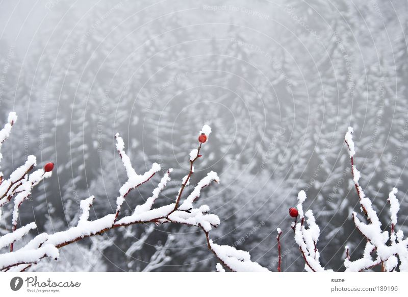 3 polar bears Environment Nature Landscape Plant Winter Climate Fog Ice Frost Snow Forest Cool (slang) Bright Cold Gray White Rose hip Branch Twig Berries