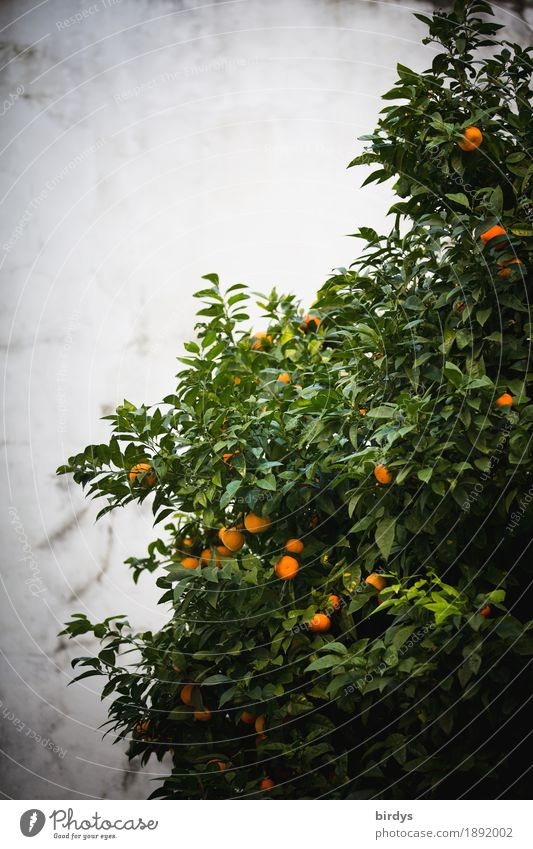 Today Oranges Food Fruit Tree Agricultural crop Fragrance Growth Authentic Fresh Healthy Delicious Positive Juicy Sweet Gray Green Anticipation To enjoy