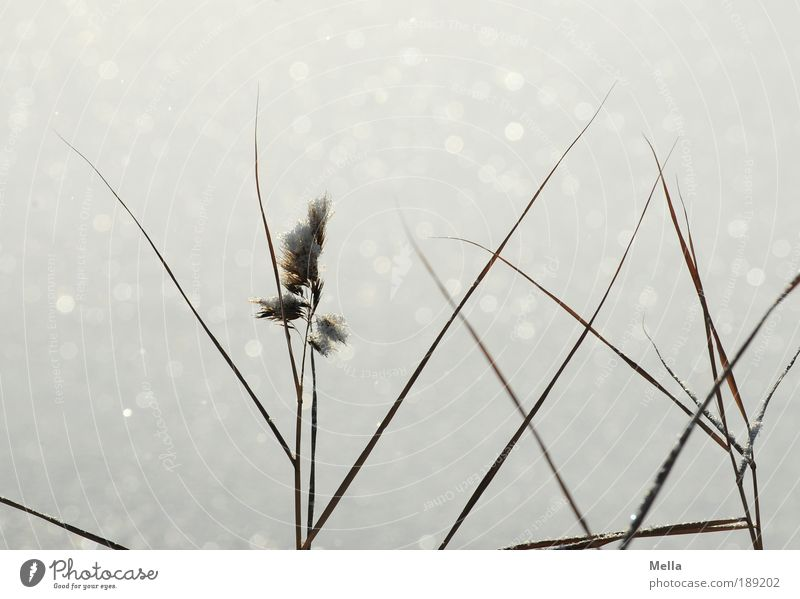 Still cold Environment Nature Plant Winter Climate Climate change Weather Ice Frost Snow Grass Glittering Growth Cold Moody Idyll Pure Calm Colour photo