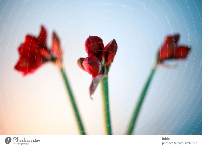 amaryllis Winter Flower Blossom Amaryllis Blossoming Green Red 3 Stalk Vignetting Complementary colour Bud Christmas decoration Christmas & Advent Colour photo
