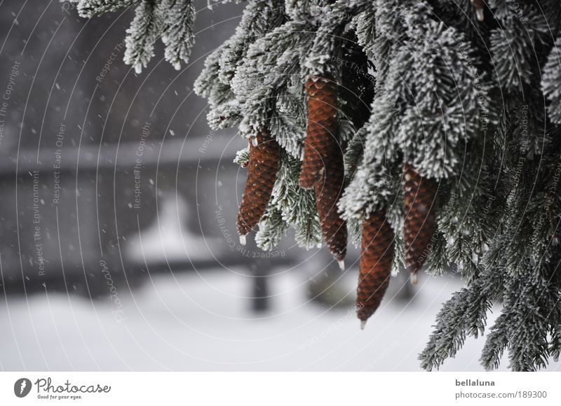 tattoo Environment Nature Plant Winter Climate Beautiful weather Ice Frost Snow Snowfall Tree Forest Cold Cone Fir branch Fir needle Fir tree Colour photo