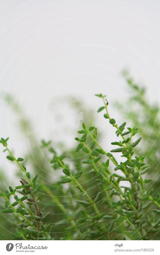 Thyme at its finest Nature Plant Leaf Agricultural crop Fresh Delicious Natural Green White Healthy Herbs Colour photo Close-up Detail Copy Space top