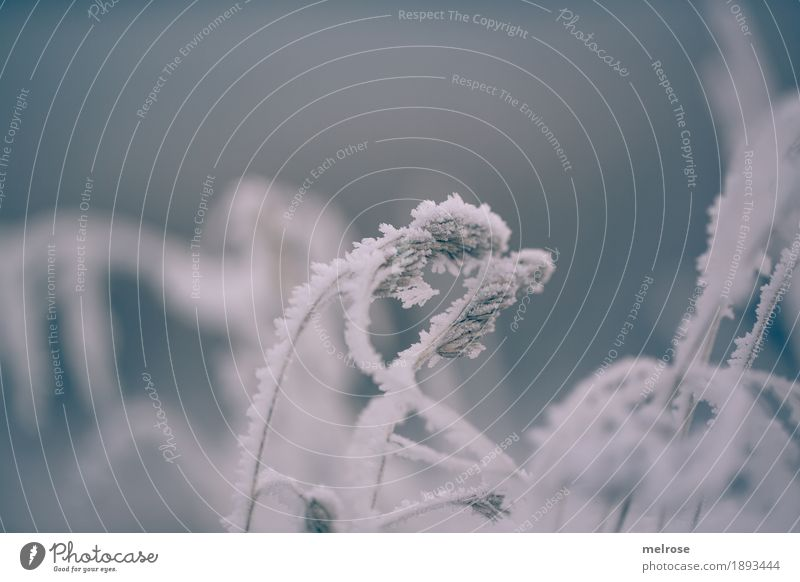 bent over with cold Elegant Environment Nature Winter Climate Weather Fog Ice Frost Snow Plant Grass Bushes Fern Wild plant Field Ice crystal Cold Snow crystal