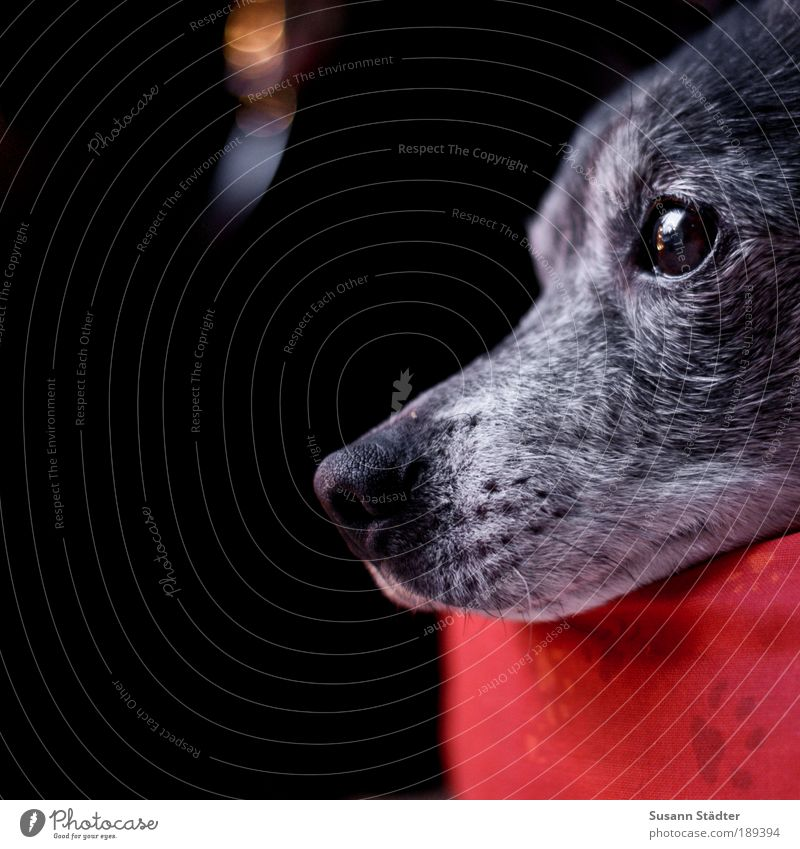 Old Red Animal Window Gray Dog Dream Soft Observe Animal face Pelt Pet Paw Visual spectacle Loyalty Snout