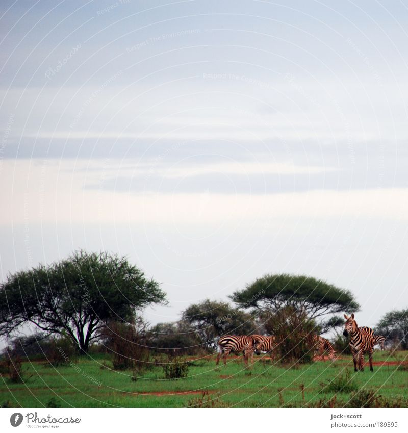 Zebra Group Safari Sky tree Exotic Meadow Savannah Kenya Wild animal Group of animals Together Agreed Adventure Freedom Vacation & Travel Environment To feed