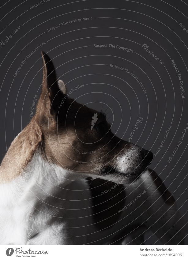 Jack Russell Terrier studio recording Human being Pet Dog 1 Animal Watchfulness Endurance portrait Workshop Background picture brown copy cute