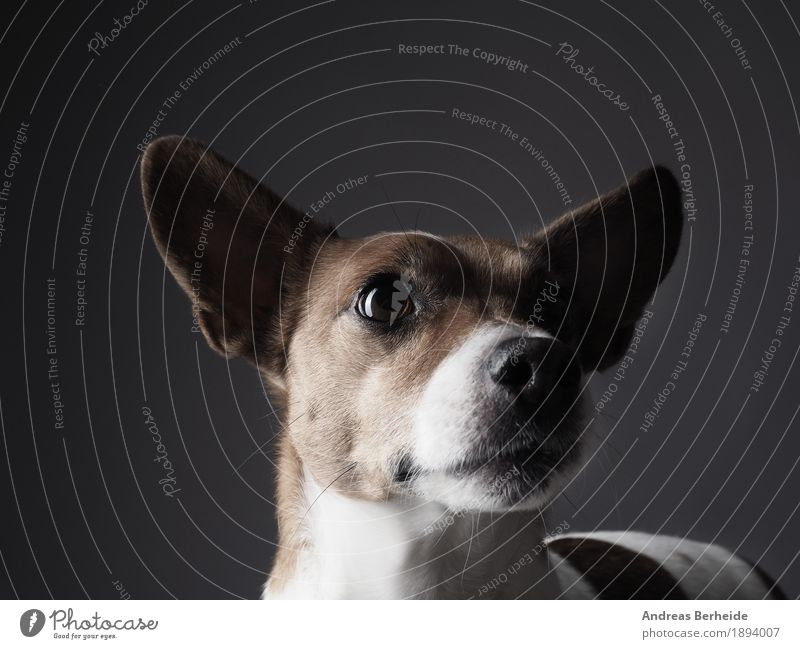 Jack Russell Terrier studio recording Human being Pet Dog 1 Animal Friendliness Smart Watchfulness portrait Workshop Background picture brown copy cute