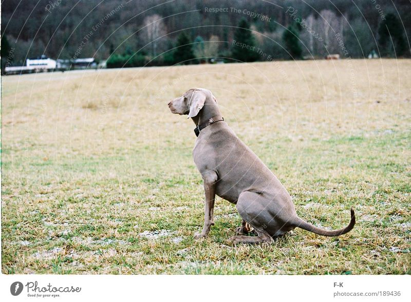 Dog Nature Green Animal Winter Landscape Meadow Cold Grass Gray Brown Wait Elegant Esthetic To go for a walk Observe