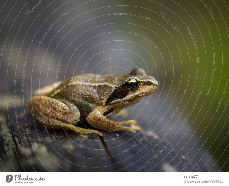 keep the overview Environment Nature Animal Tree trunk Field Forest Wild animal Frog Animal face Grass frog Amphibian 1 Observe Crouch Small Above Brown Gray
