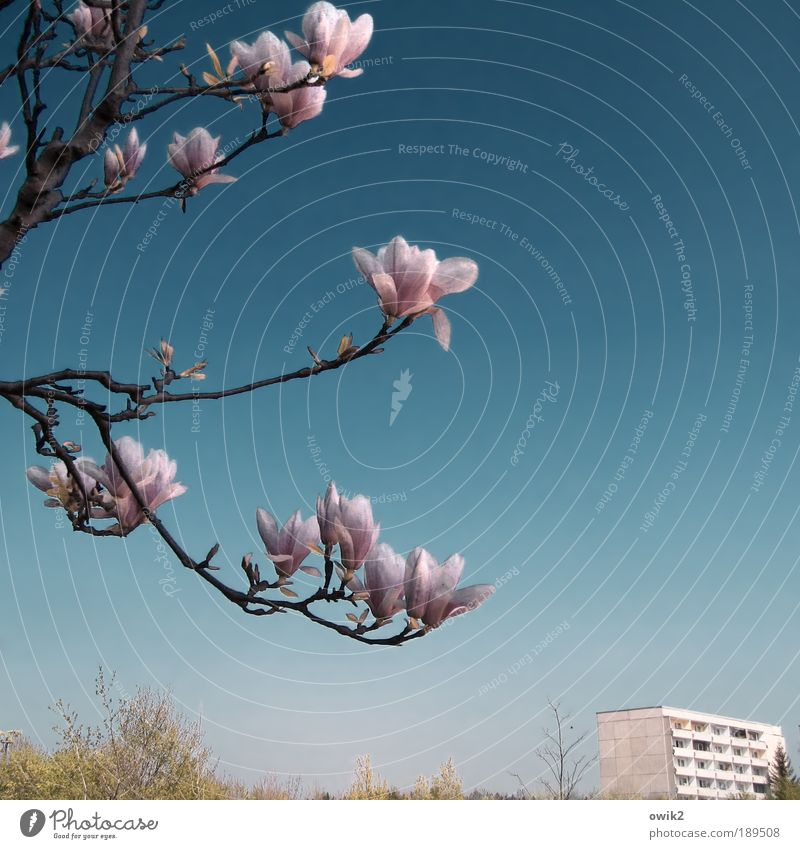 soon-to-be Environment Nature Landscape Plant Air Cloudless sky Spring Climate Weather Beautiful weather Warmth Bushes Leaf Blossom Magnolia tree