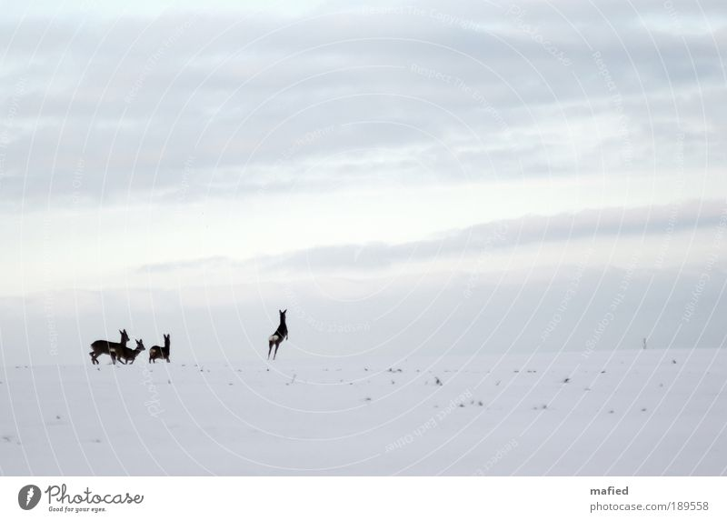 Nature Sky White Blue Winter Animal Snow Jump Movement Gray Landscape Ice Brown Field Fear Walking