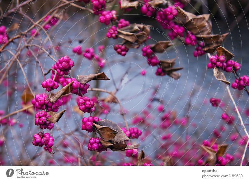 Beauty Berries Nature Plant Joy Winter Leaf Colour Brown Pink Elegant Fruit Esthetic Cool (slang) Bushes Authentic Simple