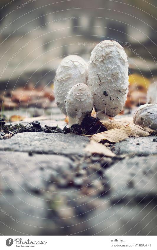 threesome Healthy Eating Autumn Mushroom Crested Tintling Crested Tingles Shaggy mane asparagus mushroom Edible ink mushroom Growth Assertiveness Strong