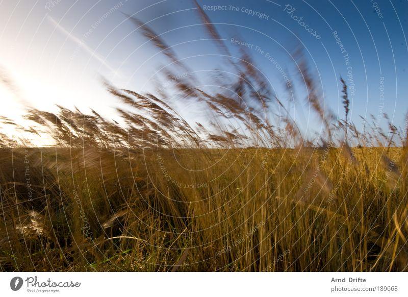 dune grass Calm Nature Landscape Plant Sky Cloudless sky Sunlight Winter Beautiful weather Wind Grass Bushes Coast Blue Brown Loneliness duene Blade of grass
