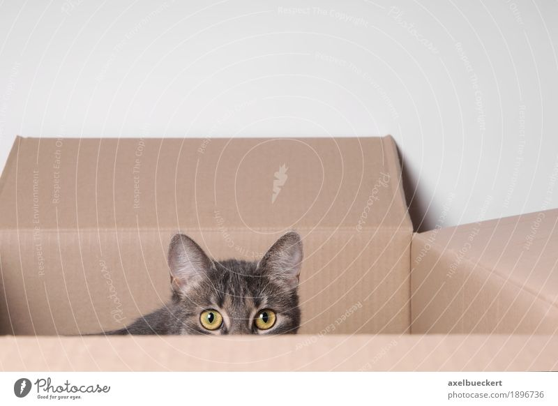 Cat in carton Animal Pet Animal face 1 Baby animal Observe Playing Eyes Cardboard Cardboard box Hiding place Hide Fear Looking Surveillance Domestic cat Gray