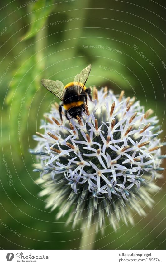 ° Vacation & Travel Trip Environment Nature Plant Summer Animal Wild animal Bee Wing 1 Touch Discover Crawl Natural Effort Resolve Thistle Thistle blossom