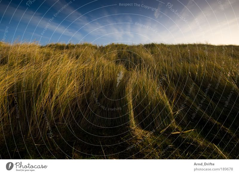 Dune grass 2 Calm Nature Landscape Plant Sky Clouds Winter Beautiful weather Wind Grass Bushes Coast Blue Brown Green Loneliness duene North Sea