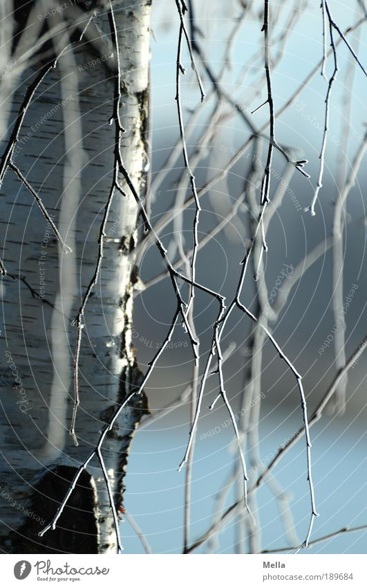 Rapunzel Environment Nature Plant Winter Climate Climate change Ice Frost Tree Birch tree Hang Fresh Cold Natural Blue Moody Idyll Growth Branch Colour photo