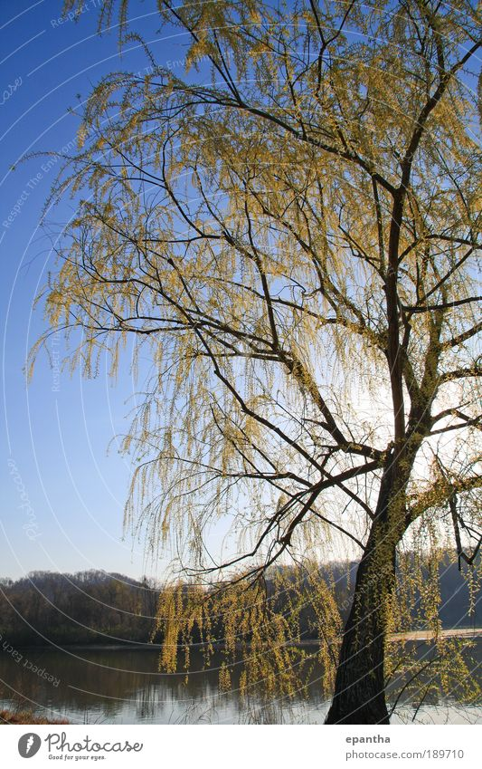 Willow Tree Nature Sky Blue Plant Leaf Yellow Spring Park Landscape Elegant Environment Fresh Esthetic River