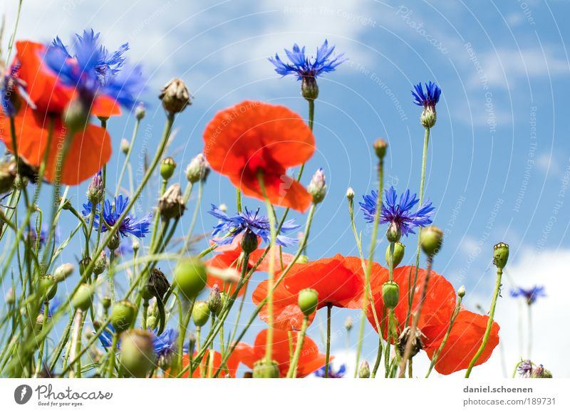 blue-white red Environment Nature Plant Sky Spring Summer Climate Beautiful weather Flower Grass Leaf Blossom Meadow Field Blue Red White Poppy Poppy blossom