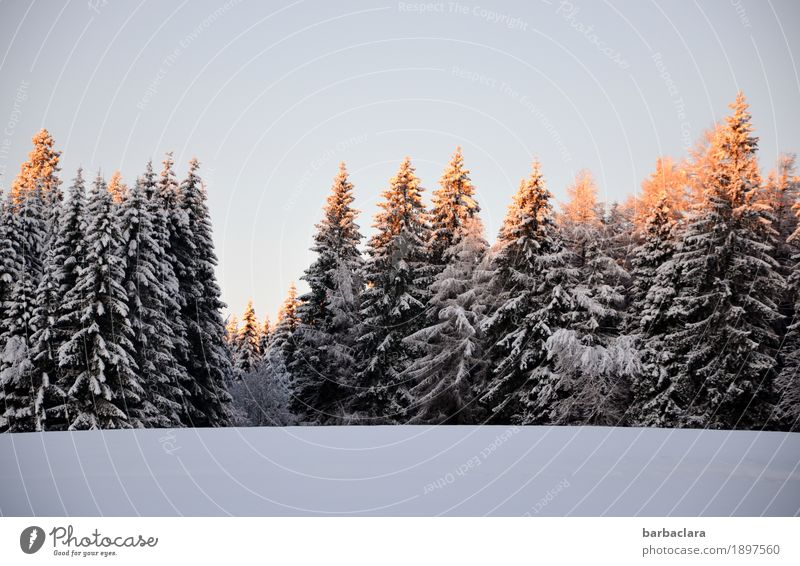 Snow at last Nature Landscape Cloudless sky Sun Winter Fir tree Forest Black Forest Illuminate Moody Joy Expectation Cold Climate Environment Change