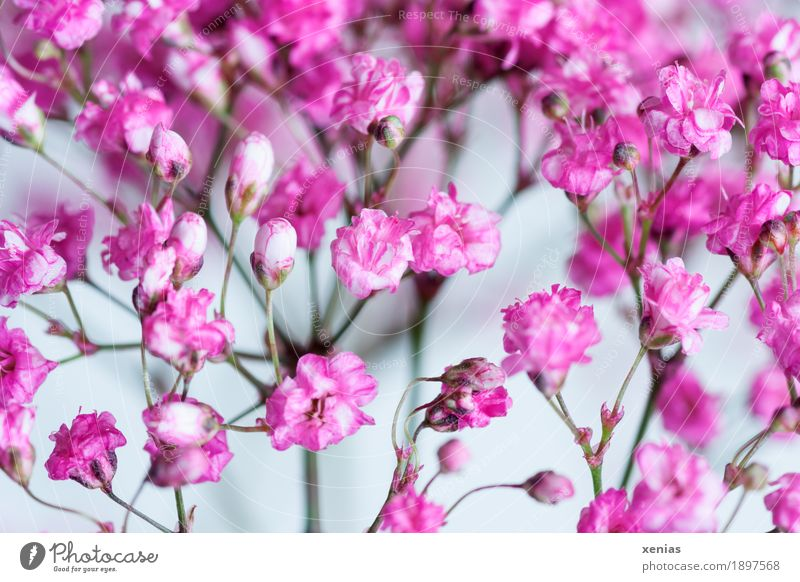 Pink gypsophila against a white background gypsum herb Baby's-breath Plant Spring Flower Blossom panicle bush Gysophila paniculata Garden Bouquet Small White