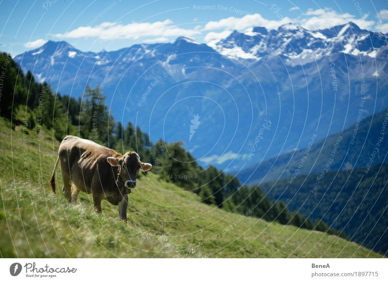 Cow in the alps Summer Nature Relaxation Idyll Kitsch Environment Vacation & Travel Alpine Blue sky Italy Switzerland Alps Alpine pasture Animal To feed Grass