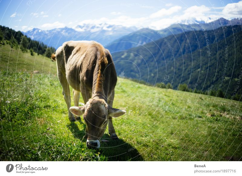 Cow in the alps Summer Nature Relaxation Idyll Environment Vacation & Travel Alpine Blue sky Italy Switzerland Alps Alpine pasture Mountain meadow Animal