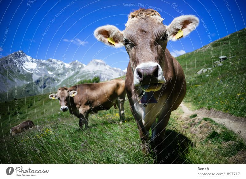 Cow in the alps Summer Nature Relaxation Environment Vacation & Travel Alpine Blue sky Italy Switzerland Alps Mountain meadow Alpine pasture Animal Herd To feed