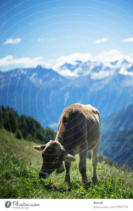 Cow in the alps Summer Nature Relaxation Environment Vacation & Travel Alpine Blue sky Italy Switzerland Alps Mountain meadow Alpine pasture Animal To feed