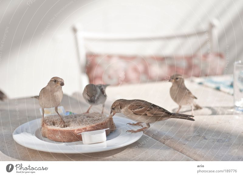 Uninhibited birdin' Bread Plate Animal Bird 4 Brash Nutrition Colour photo Exterior shot Deserted Day Tree sparrow Be confident Slice of bread Feeding To feed