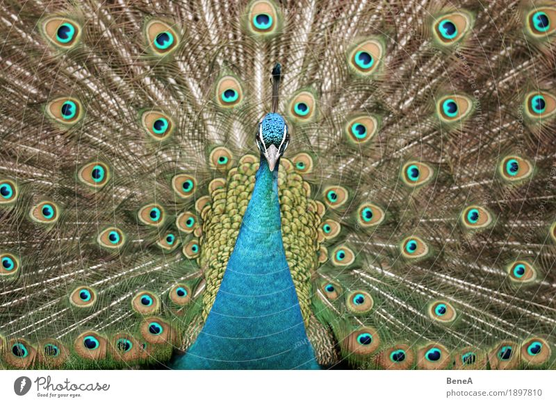 A peacock displaying and looking into the camera Nature Esthetic Exotic Passion Center point Animal Bird Blue Peacock Peacock feather Feather Pattern