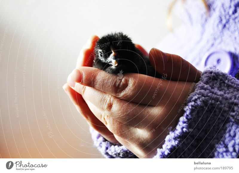 Gently held. Environment Nature Animal Farm animal Bird Animal face Wing Barn fowl Chick Egg 1 Baby animal Cuddly Small Funny Near Natural New Curiosity Cute