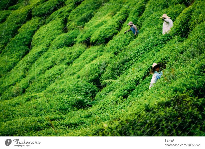 Pickers working in a tea plantation in Malaysia Human being Work and employment Sustainability Nature Tradition Environment Asia Farmer Malaya Bushes Harvest