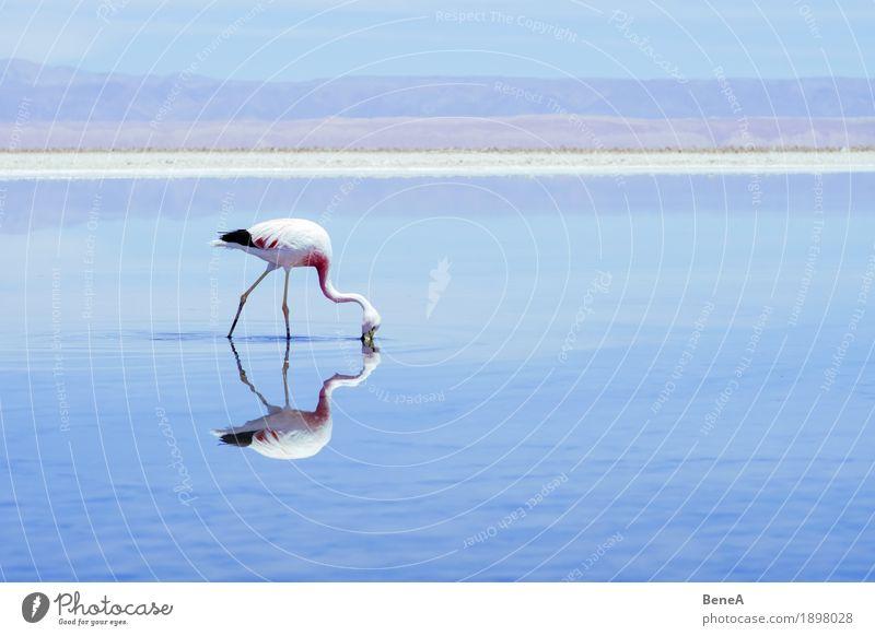 Flamingo seeks food in a salt lake in the Atacama Desert Pink Loneliness Discover Exotic Horizon Nature Environment Salar de Atacama Chile Salt Lake Andes