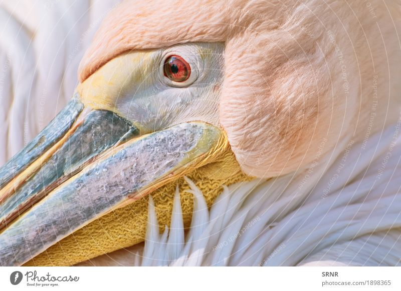 Portrait of Pelican Animal Bird 1 Wild avian avifauna Beak Bank note neb eastern pelican huge bird large bird pelecanidae pelecanus onocrotalus pink pelican