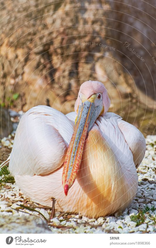 Great White Pelican Animal Bird Wild Beak Resting
