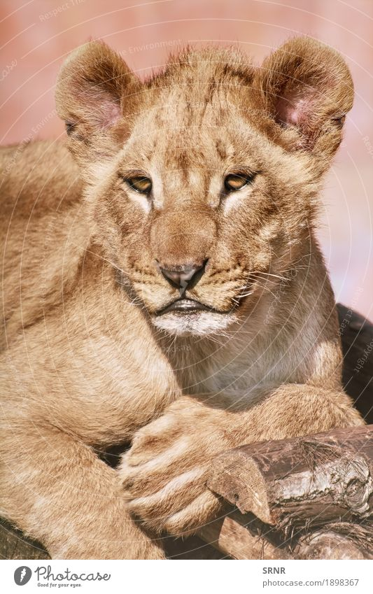 Portrait of Young Lion Animal Wild animal Cat Paw 1 Big cat female lion lion cub young lion whelp forefoot foreleg forepaw Lioness Mammal muzzle panthera leo