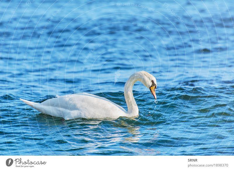 White Swan on Black Sea Ocean Nature Animal Water Lake Bird 1 Wild birdwatching Aquatic avian avifauna Beak Bank note cob cob-swan feathered feathery graceful